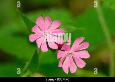 Bird's Eye Primrose (Primula farinosa) - Stock Photo