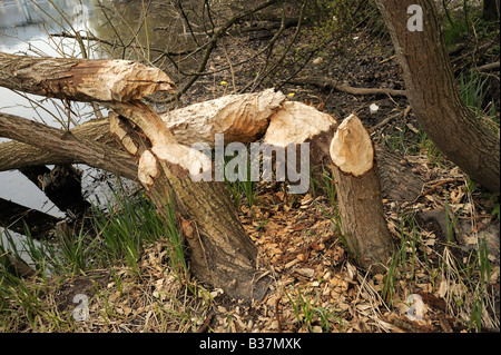 Castor marks on a tress at the banks of the river aare in Bern - Stock Photo