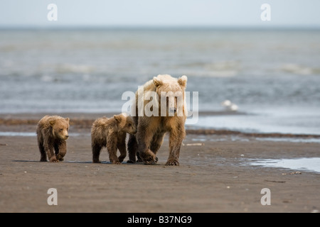 Brown Bear (Ursus arctos) mother with three cubs on the beach - Stock Photo