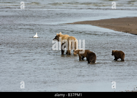 Brown Bear (Ursus arctos) a mother with three first year cubs fishing in shallow water - Stock Photo