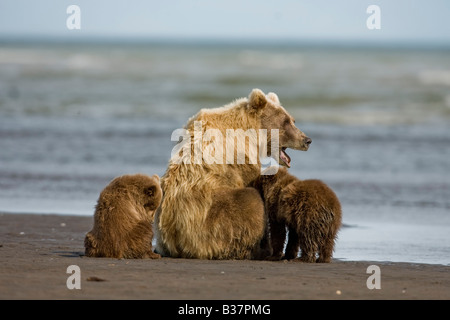 Brown Bear Ursus arctos) mother with three cubs on the beach - Stock Photo