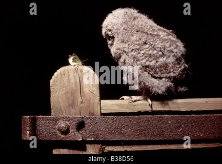 A tawny owlet (strix aluco) on gate post fixated on a butterfly, UK - Stock Photo