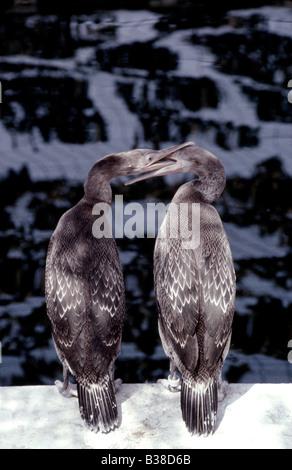 Socotra Cormorants (juveniles) Phalacrocorax nigrogularis (captive) during the Gulf eco disaster, 1991 - Stock Photo