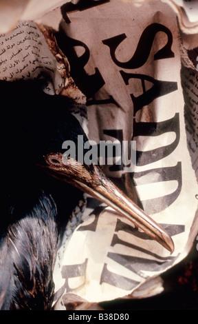 Oiled Socotra cormorant (Phalacrocorax nigrogularis) and gull dead on an Arabic newspaper at a rehabilitation centre, - Stock Photo