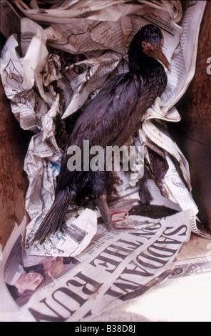 Oiled Socotra cormorant (Phalacrocorax nigrogularis) in a box at a rehabilitation centre, Gulf War 1991, with newspaper - Stock Photo