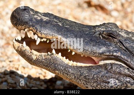 Alligator basking in sut at Homosassa Springs State Wildlife Park in Florida - Stock Photo