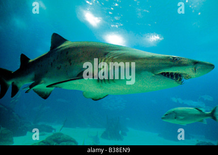 Sandtiger Shark in the Oceanarium of Lisbon - Stock Photo