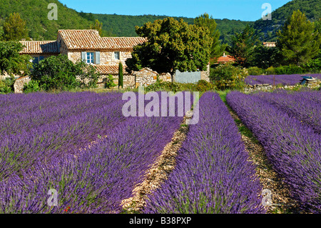Typical Provencal house behind a field with blossoming Lavender near Banon, Provence, France - Stock Photo