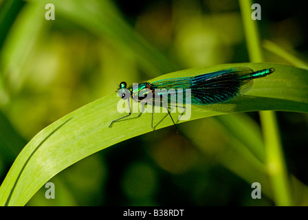 DRAGONFLY OR DAMSELFLY MALE BANDED DEMOISELLE CALOPTERYX SPLENDENS - Stock Photo