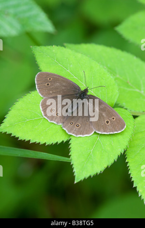 Ringlet Aphantopus hyperantus adult butterfly at rest on a leaf - Stock Photo
