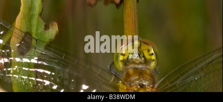 Close up of a Common Darter Dragonfly'Sympetrum stiolatum' resting on a reed stem in a marsh. - Stock Photo