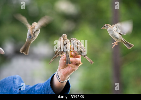 Sparrows in flight feeding from a person's hand - Stock Photo