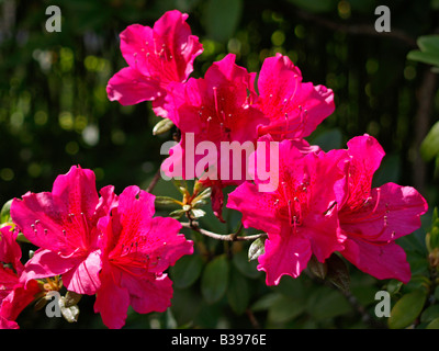 Azalee rot bluehend, Azalea red flowering - Stock Photo
