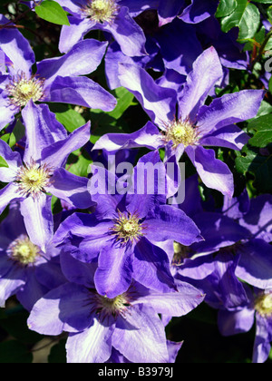 kletterpflanze clematis blueten violett natur vegetation stock photo royalty free image. Black Bedroom Furniture Sets. Home Design Ideas