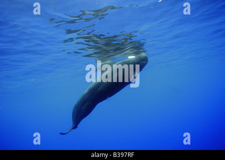 Short finned pilot whale Globicephala macrorhynchus Kailua Kona Hawaii USA - Stock Photo