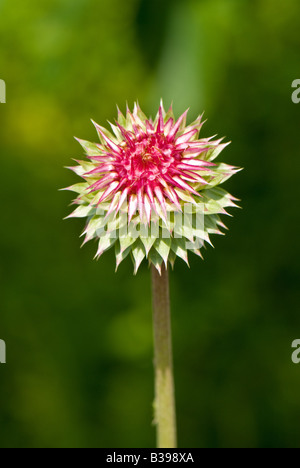 Nodding Thistle (Carduus nutans), Dolly Sods Wilderness, Tucker County, West Virginia - Stock Photo