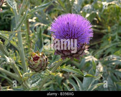 Artichoke (Cynara cardunculus syn. Cynara scolymus) - Stock Photo