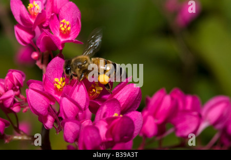 close-up flying honeybee Pollinating collecting pollen from pink azalea flowers pollen in pollen pouch in Hanalei - Stock Photo