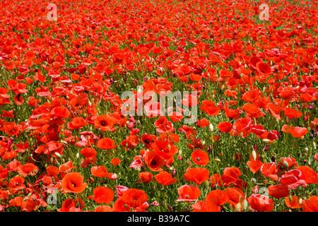 Bluehendes Mohnblumenfeld, flowering poppy flowers field - Stock Photo