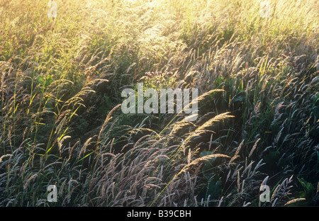 Part of meadow of Red fescue and Yorkshire fog grasses and Creeping thistle backlit by golden light of summer evening - Stock Photo
