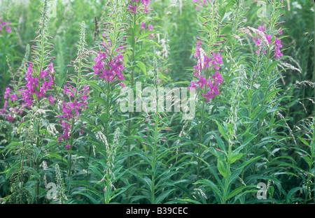 Mass of pastel backlit stems of Rosebay willowherb or Epilobium angustifolium with their pink flowerheads or buds - Stock Photo