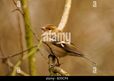 Chaffinches are one of our most vocal finches and can be seen in most gardens and in most parts of the countryside. - Stock Photo