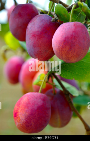 Fresh red Victoria plums ripe growing on a plum tree in an orchard - Stock Photo