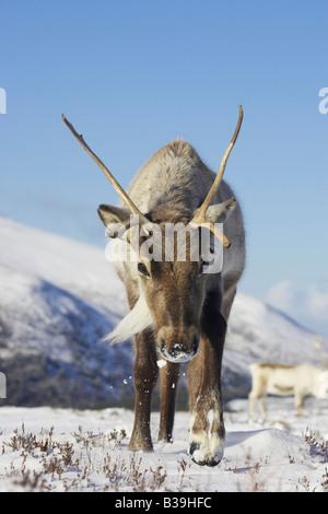 Reindeer (Rangifer tarandus), walking through snow - Stock Photo