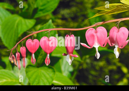 Pink heart shaped flower growing at Manito Park in the City of Spokane in Washington State, United States of America - Stock Photo