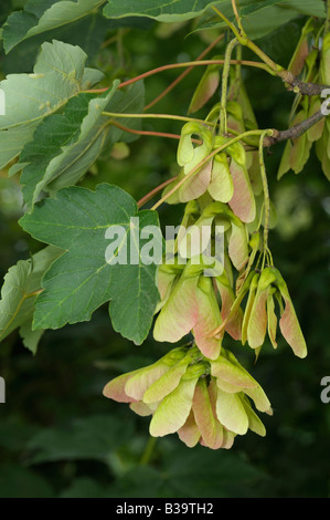 Sycamore Great Maple Acer pseudoplatanus twig with seeds