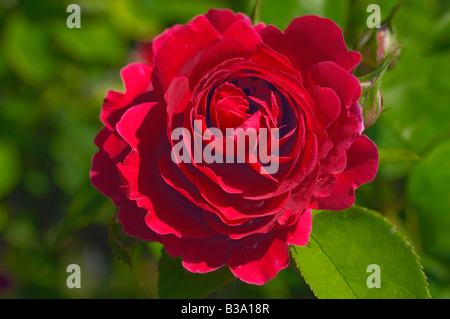 Red rose growing in The Rose Garden at Julia Davis Park, Boise, Idaho - Stock Photo