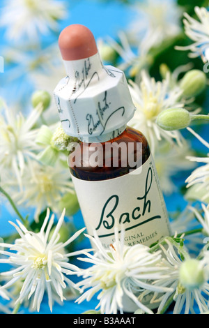 Old man s beard or Traveller s joy Clematis vitalba Bach s floral remedy - Stock Photo