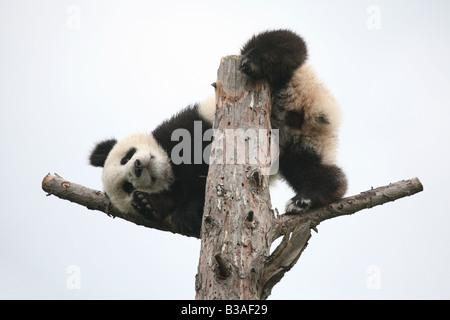 Fu Long the Giant panda cub enjoying in his enclosure at Schonbrunn Zoo in Vienna, Austria. - Stock Photo