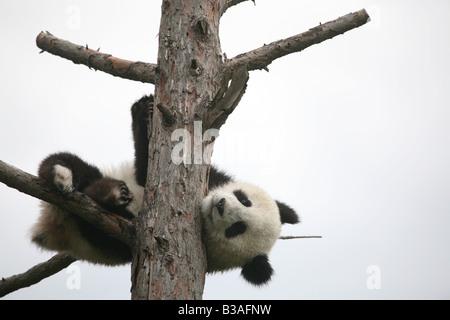 Fu Long the Giant panda cub in his enclosure at Schonbrunn Zoo in Vienna, Austria - Stock Photo