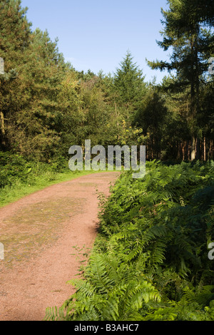 UK Cheshire Delamere Forest Park path through Forestry Commission woodland - Stock Photo