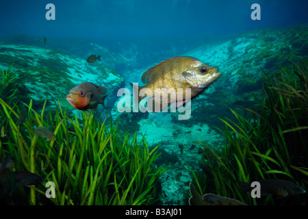 Bluegill Lepomis macrochirus and Redbreast sunfish Lepomis auritus Alexander springs Florida - Stock Photo