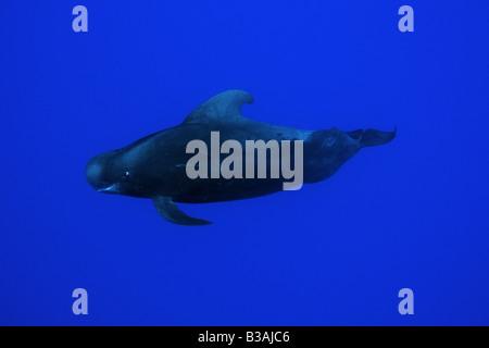 Short finned pilot whale Globicephala macrorhynchus Kailua Kona Hawaii USA