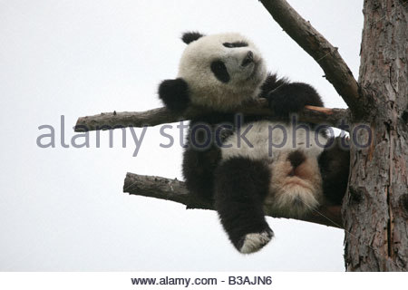 Fu Long the Giant panda cub enjoying in his enclosure at Schonbrunn Zoo in Vienna, Austria - Stock Photo