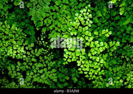 Black Maidenhair Fern (Adiantum Capillus-Veneris) - Stock Photo