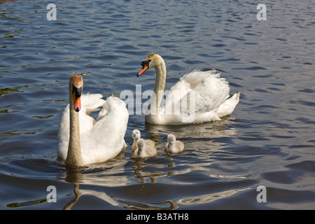 Mute swans with three cygnets Cygnus olor Latin - Stock Photo