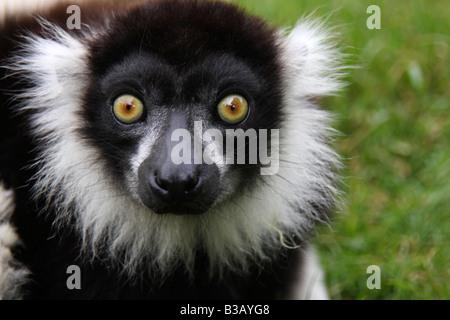 Black and white ruffed lemur, Varecia variegata variegata - Stock Photo