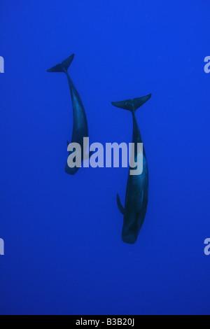 Short finned pilot whale Globicephala macrorhynchus Kailua Kona Hawaii - Stock Photo