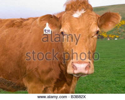 Close up of tagged cow standing in field - Stock Photo