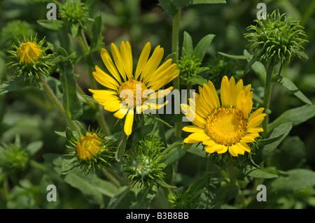 Great Valley Gumweed, Great Valley Gumplant (Grindelia camporum, Grindelia robusta) flowering - Stock Photo