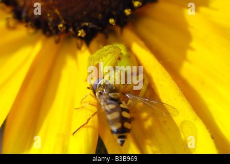 Female of Misumena vatia Goldenrod crab spider catching wasp - Stock Photo