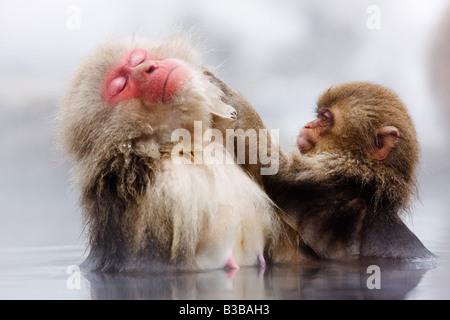 Japanese Macaques Grooming, Jigokudani Onsen, Nagano, Japan - Stock Photo