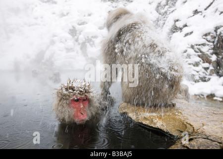Japanese Macaques at Jigokudani Onsen, Nagano, Japan - Stock Photo