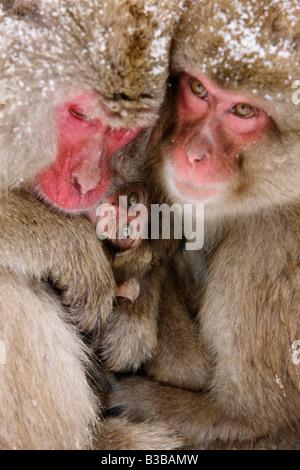 Japanese Macaques Huddled Together, Jigokudani Onsen, Nagano, Japan - Stock Photo