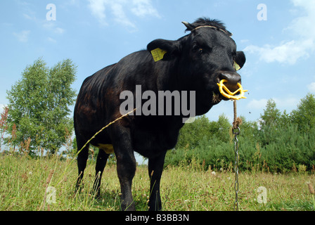Black cow on pastureland in Poland (Masovia region) - Stock Photo
