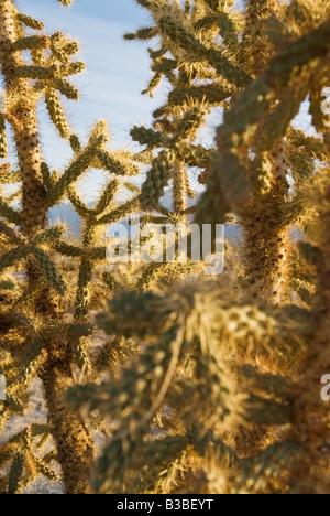 jumping cholla (Cylindropuntia fulgida) cactus in the desert of northern Baja California, Mexico - Stock Photo